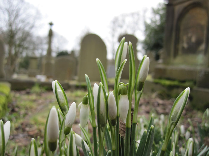 Crocuses popping up - signs of life in a place of death