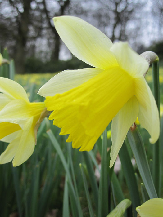 The daffodils are in bloom