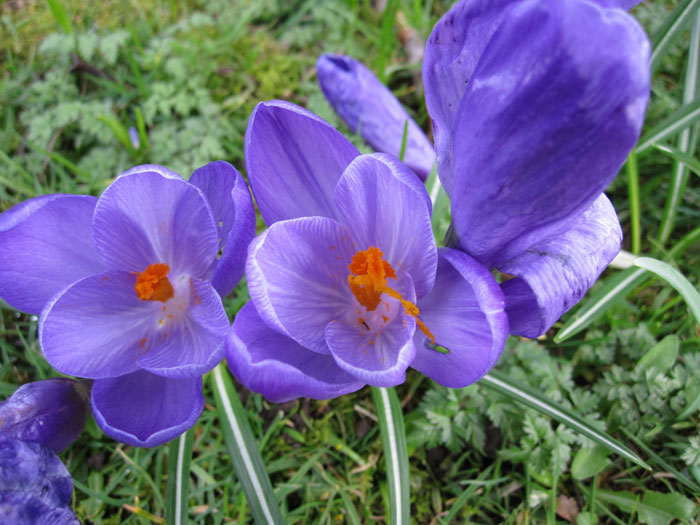 Spring is under way - the crocuses are in bloom!