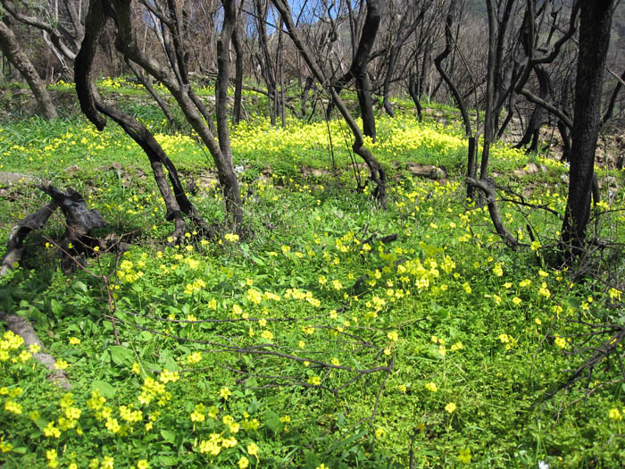 Abundant yellow flowers in the hills above Corniglia, on our hiking day
