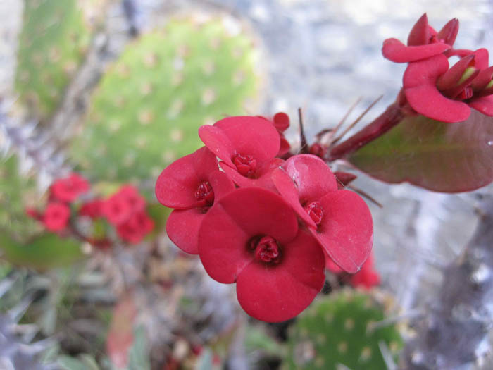 Magenta flower and cacti - examples of the typical flora of Cinque Terre