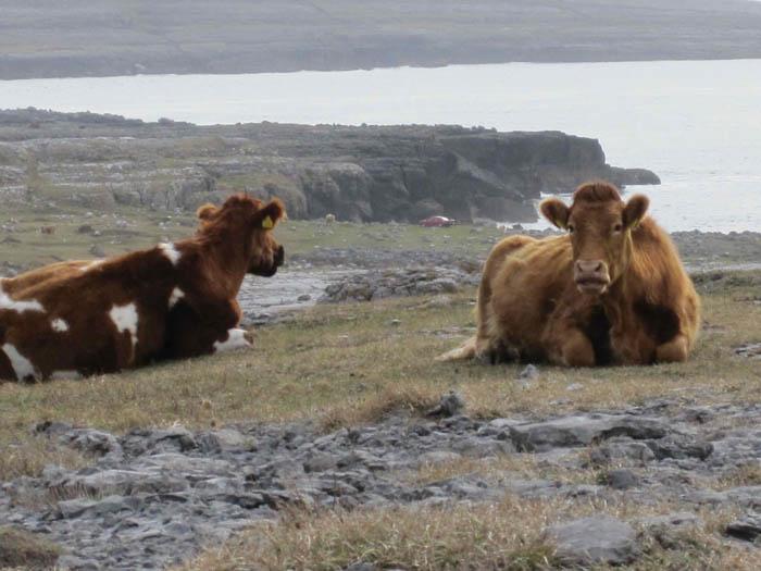 Free range cattle in the Burren