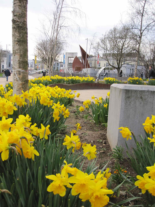 Daffodils in Eyre Square, Galway