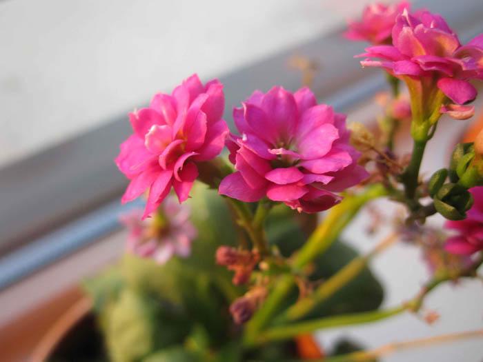Flowers on Opa's window sill