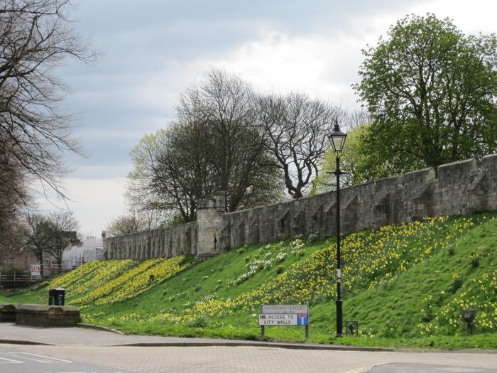 York City Walls blanketed with blooming daffodils