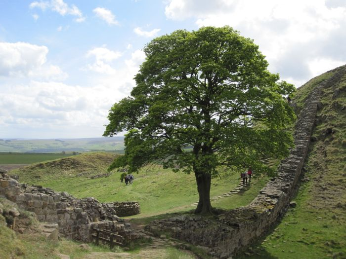 "The ""Lone Tree"" along Hadrian's Wall"