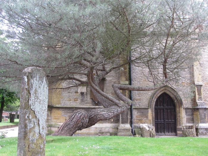 Gnarly tree outside the church where Shakespeare is buried