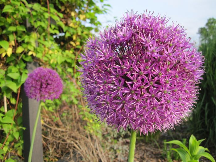 Allium in the Stratford-upon-Avon Bancroft Gardens